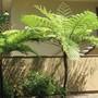 Tree ferns. (Cyathea cooperi (Lacy Tree Fern))