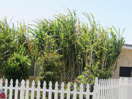 Sugar Cane! (Saccharum officinarum (Caña))