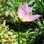 Tulipa saxatilis - 2018 (Tulipa saxatilis)