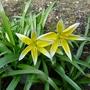 Tulipa tarda - 2018 (Tulipa tarda)