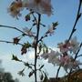 Prunus Autumnalis still blossoming