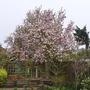 Magnolia x soulangeana - 2018 (Magnolia x soulangeana)