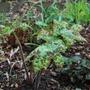 Podophyllum Spotty Dotty.... (Podophyllum peltatum (American Mandrake))