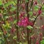 Ribes Brian Jou.... (Ribes Brian Jou.)