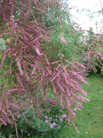 Tamarisk in flower. (Tamarix ramosissima (Saltcedar))