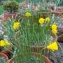 Narcissus bulbocodium fillifolius (Narcissus bulbocodium (Hoop-petticoat Daffodil))