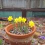 Narcissus rupicola (Narcissus rupicola)