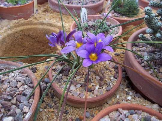 Romulea bulbocodium (Romulea bulbocodium)
