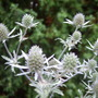 Eryngium_sea_holly_