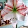 Amaryllis #5 Flowering on living room table 14th April 2018 001 (Amaryllis)