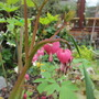 Dicentra spectablis (update For my File) (Dicentra spectabilis (Bleeding heart))