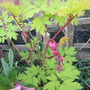 Dicentra spectablis Goldheart (update for my File) (Dicentra spectabilis (Bleeding heart))