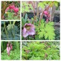 All My Dicentra (Dicentra)