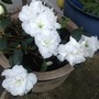 Azalea (white no name)