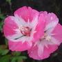 Godetia blooms. (Godetia)