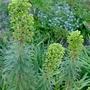 Euphorbia characias 'Black Pearl' - 2018 (Euphorbia characias 'Black Pearl')