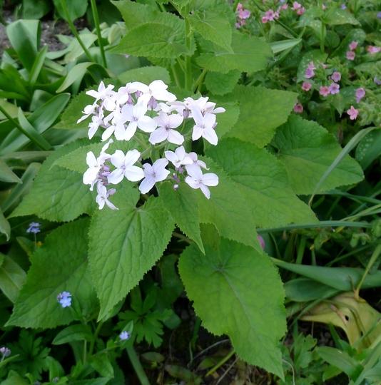 Lunaria rediviva - 2018 (Lunaria rediviva)