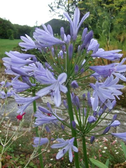 Blue Agapanthus (Agapanthus africanus)