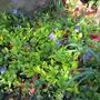 Variegated Vinca (Vinca minor variegata)