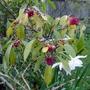 Illicium floridanum - 2018 (Illicium floridanum)
