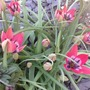 Dwarf tulips are flowering today..