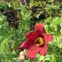 Pulsatilla vulgaris rubra (update for my File) (Pulsatilla vulgaris (Pasque flower))