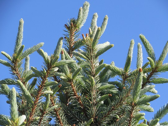 Spruce with blue frosted tips (Picea pungens (Colorado Blue Spruce))