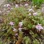 Epimedium grandiflorum 'Lilafee' - 2018 (Epimedium grandiflorum)