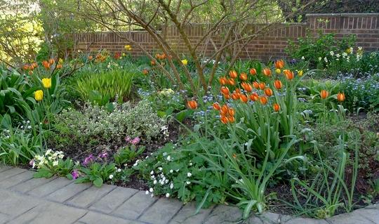 For Thrupennybit - clumps of tulipa whittallii (Tulipa whittallii)