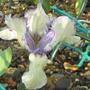 Knock Knack (Iris pumila (Dwarf Flag))
