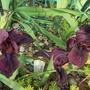 """Standard Dwarf Bearded Iris """"Cherry Garden"""" (Iris pumila (Dwarf Flag))"""