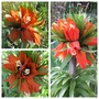 Fritillaria imperialis rubra (For my File) (Fritillary imperialis Rubra)