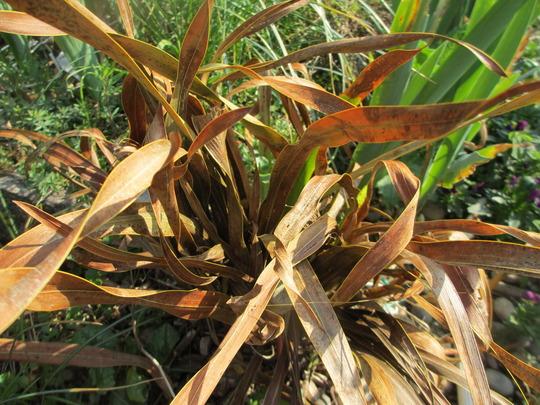 Watsonia pillansii (update for my File) (Watsonia pillansii)