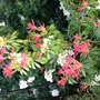 Pieris Forest Flame (Pieris japonica (Lily of the valley bush))