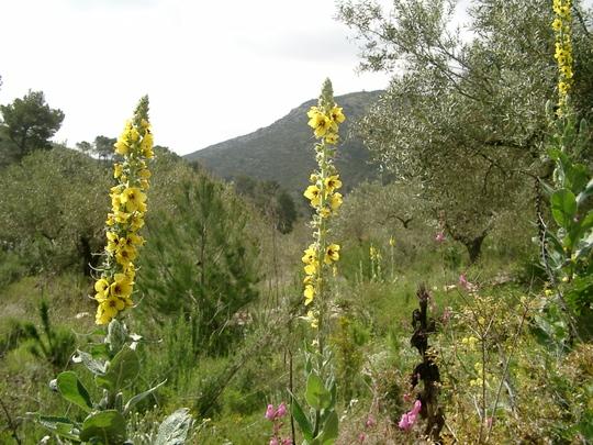Wild verbascum (Verbascum olympicum (Greek Mullein))
