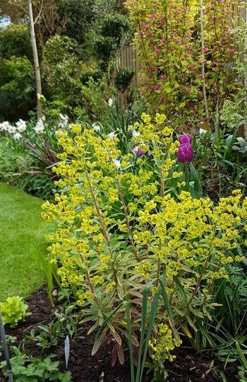 Euphorbia Ascot Rainbow..... (Euphorbia)