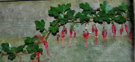 Ribes Speciosum.....for my file! (Ribes speciosum)