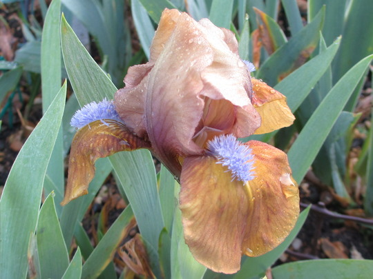 "Standard Dwarf Bearded Iris ""Gingerbread Man"" (Iris pumila (Dwarf Flag))"