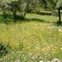 Fritillaria affinis