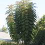 Young Chinadoll tree. (Radermachera sinica (Asian Bell))