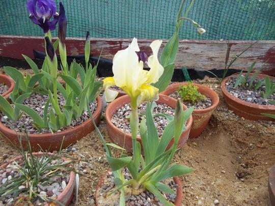 Iris seedling (Iris schachtii)