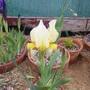 Iris seedling 2 (Iris schachtii)