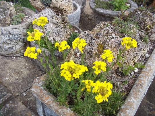 Linum arboreum (Linum arboreum)