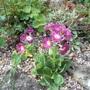 Primula seedling (Primula)