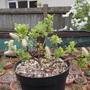 Salix Hastata 'Wehrhahnii' (Salix hastata)