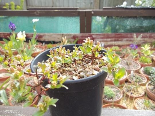 Salix alpina (Salix alpina (Alpine Willow))