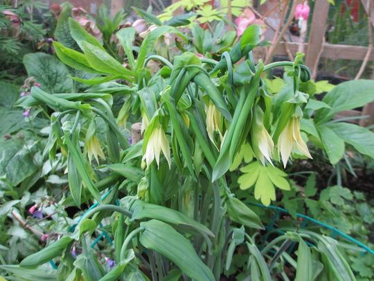 Uvularia  (Uvularia grandiflora (Large merrybells))