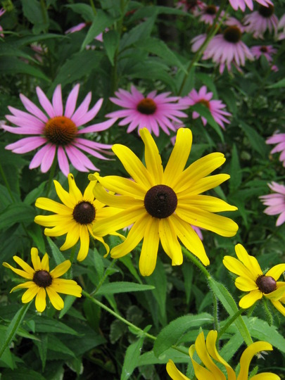 Echinacea and Rudbeckia