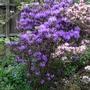 Rhododendron 'Josefa Blau' - 2018 (Rhododendron 'Josefa Blau')