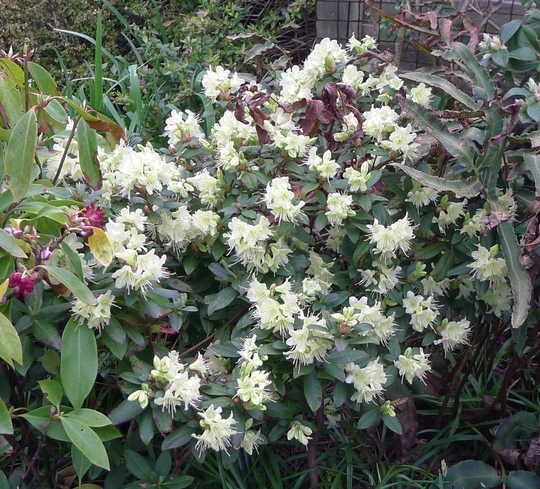Rhododendron 'Princess Anne' - 2018 (Rhododendron 'Princess Anne')